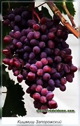 Какие винные сорта винограда лучше выбрать