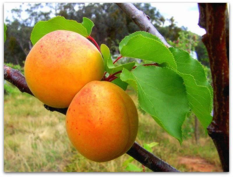 Изящный и плодовитый колоновидный абрикос: популярные сорта и особенности выращивания