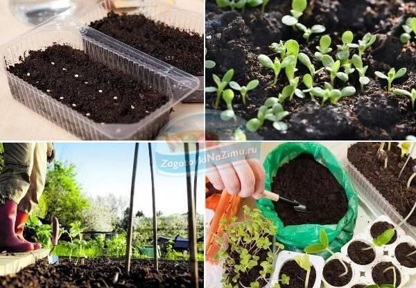 Горох, бобы и фасоль: секреты подготовки почвы и посева семян