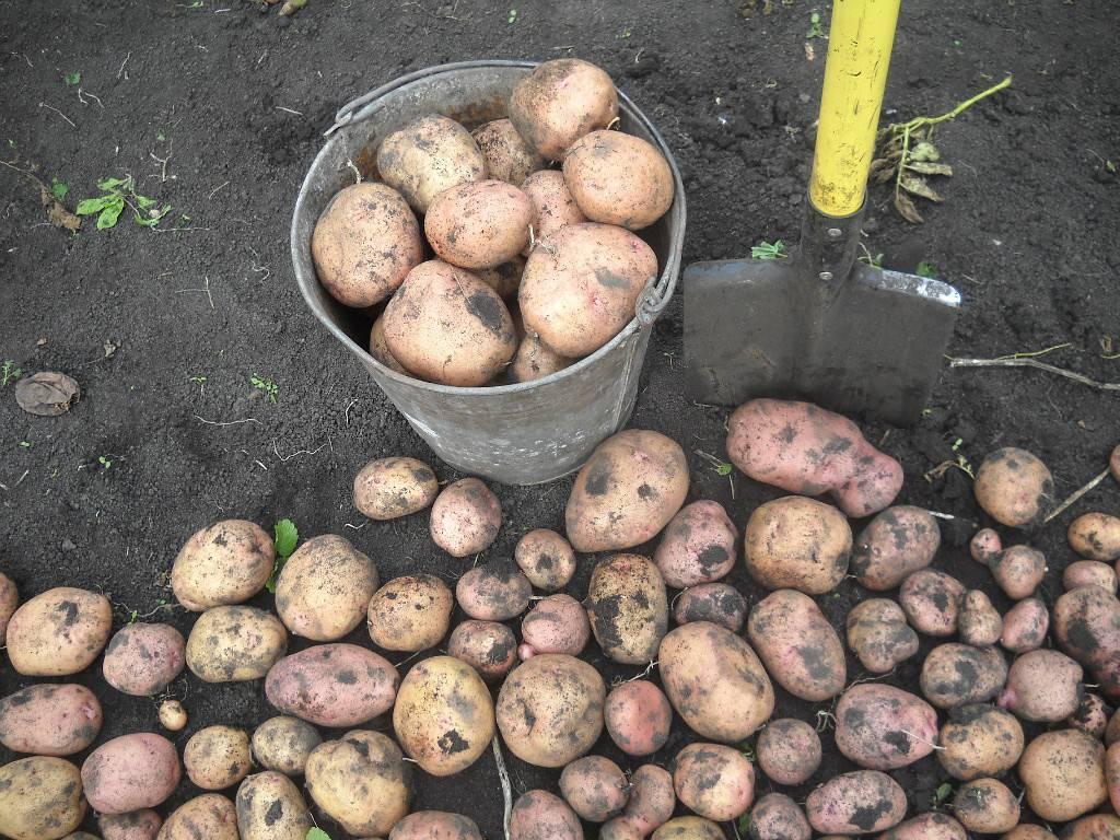 Описание картофеля алена