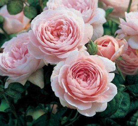 Пионовидные розы – идеальное сочетание красоты и аромата
