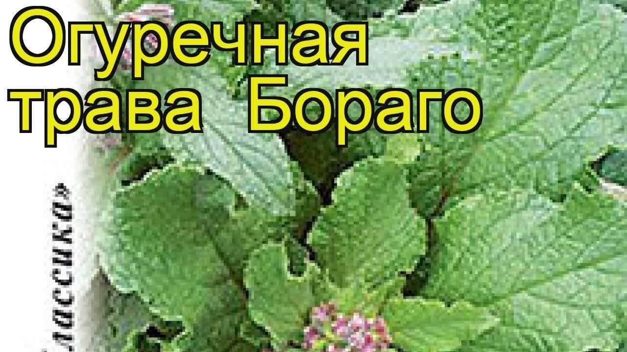Огуречная трава бораго огуречник