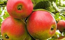 Летняя яблоня августа