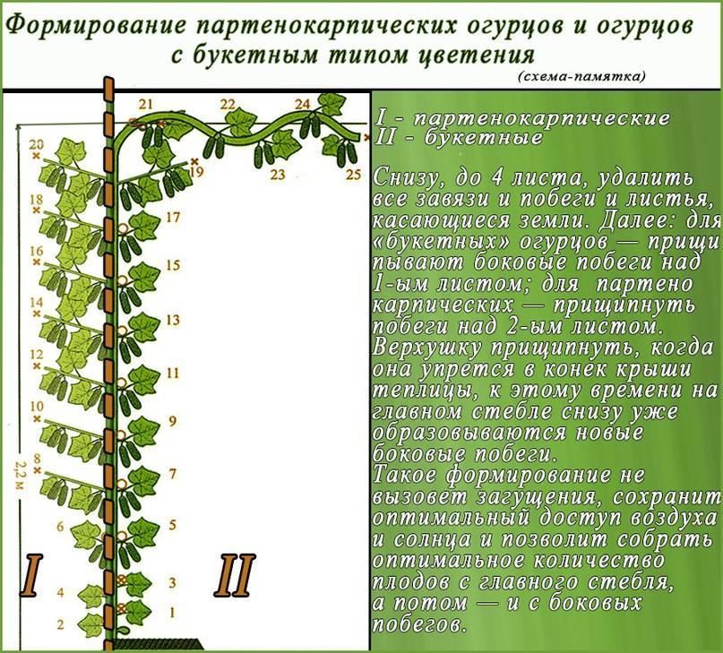 Как формировать огурцы в теплице из поликарбоната? как прищипывать и пасынковать: пошаговые действия и фото
