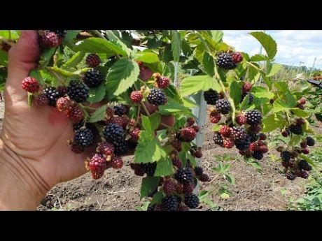 О шелковице и ежевике: основные отличия этих видов, особенности выращивания