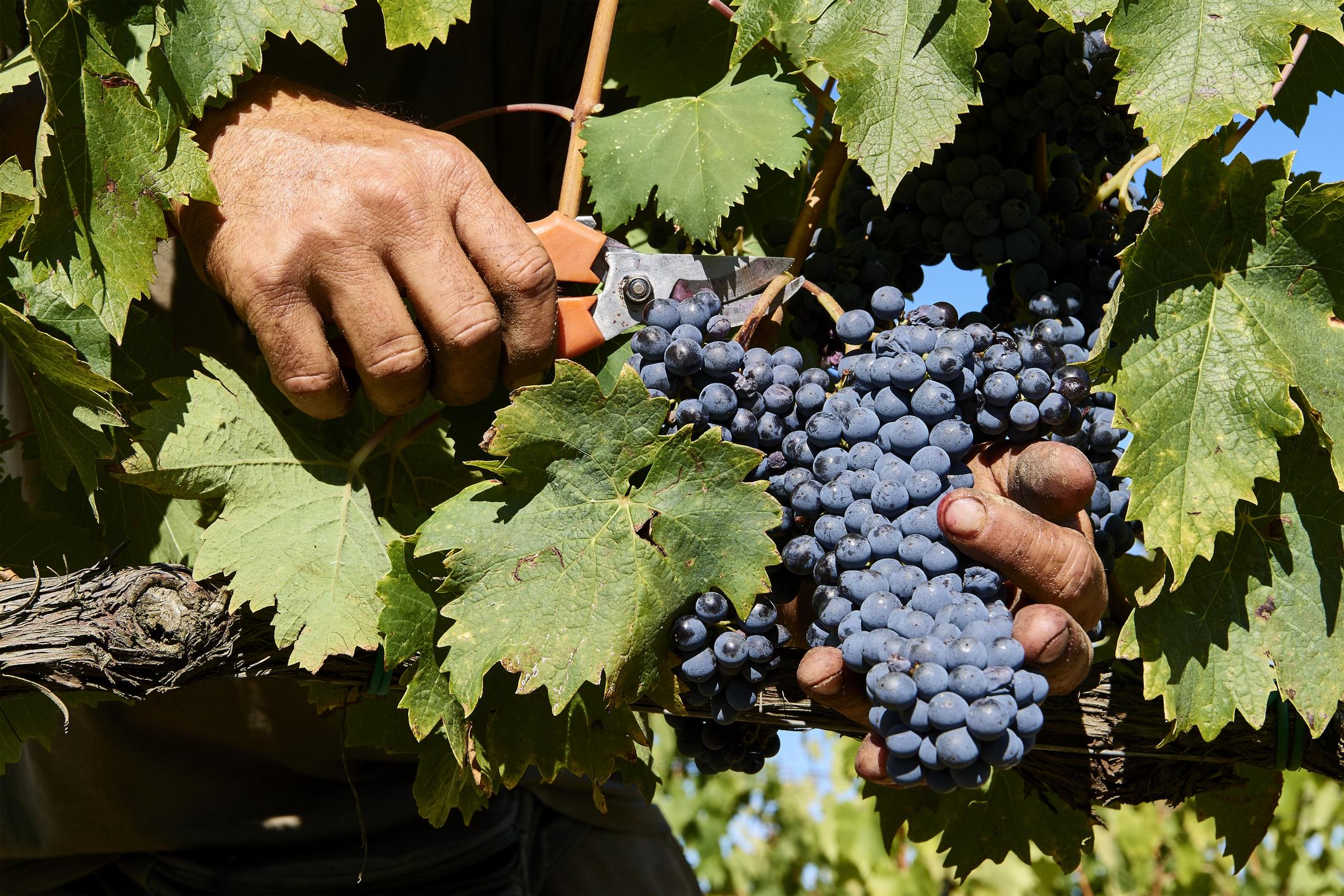 Какой сорт винограда выбрать рассказывает опытный виноградарь николай сидорцов