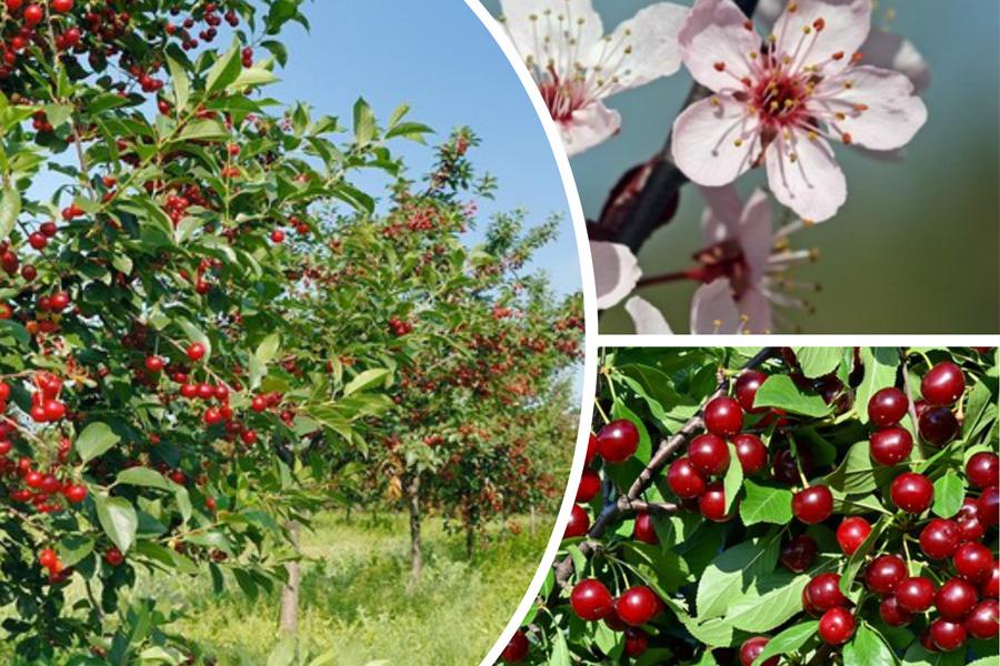 Что делать, если вишня не плодоносит?