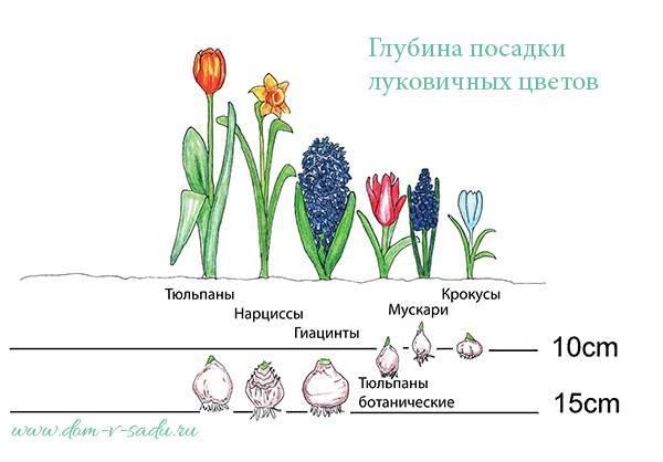Когда выкапывать нарциссы после цветения