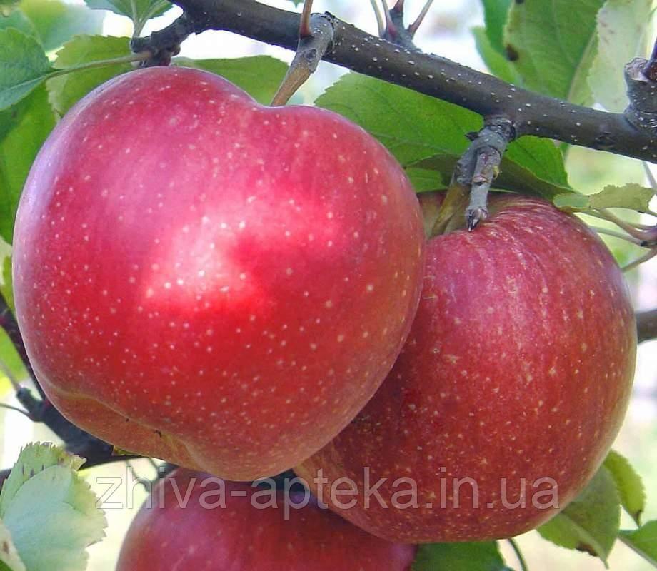 Вкусные яблоки сорта айдаред, фото