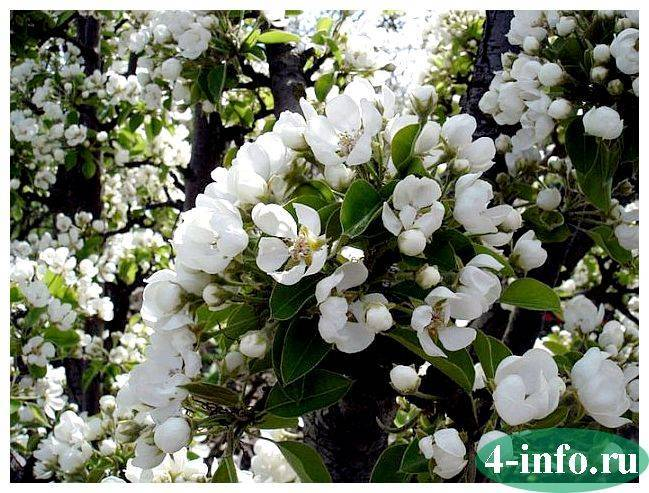 Как цветет груша — выращивание, формирование, посадка, уход и описание этапов цветения груш (75 фото)