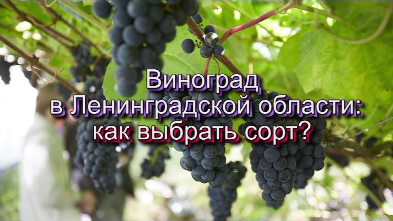 Выращивание винограда в ленинградской области в открытом грунте. посадка винограда в ленинградской области: особенности