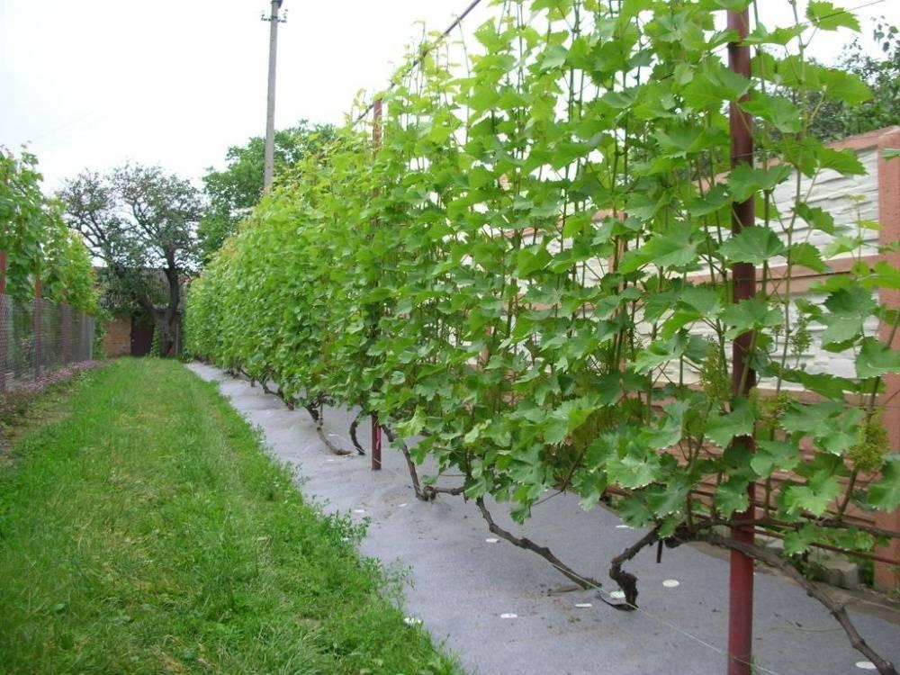 Как выбрать место для посадки винограда на участке - правила посадки