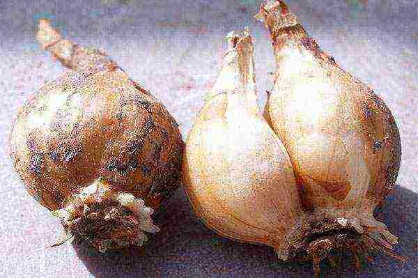 Надо ли выкапывать луковицы нарциссов – пошаговая инструкция по выкопке и прореживанию