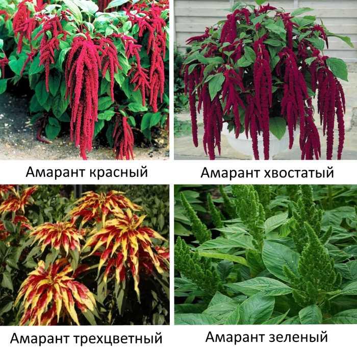 Амарант: посадка семенами и уход за растением - энциклопедия цветов