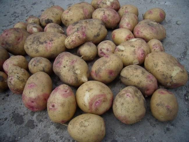 Среднеранний столовый сорт картофеля «романо» от нидерландских селекционеров