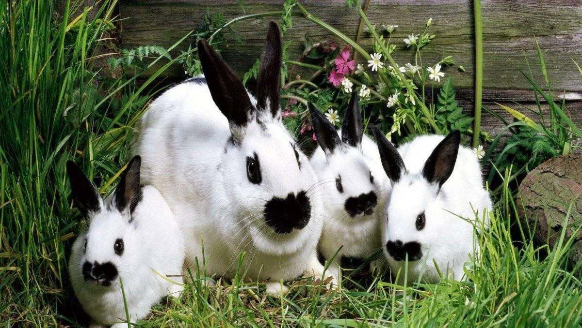 Геморрагическая болезнь кроликов: симптомы, лечение и профилактика
