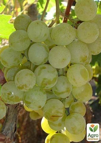 Виноград галбена ноу: разбираемся со всех сторон