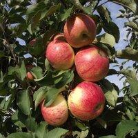 Яблони колоновидные: посадка и уход.
