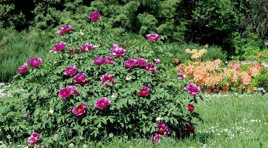 Почему пионы не цветут, одни листья: что делать? видео