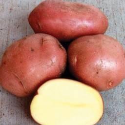 Картофель сорта каменский: колорадским жукам не по зубам!