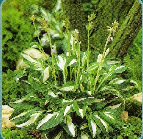 О хосте медиовариегата (описание волнистой хосты undulata mediovariegata)