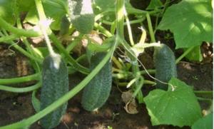 10 важных правил выращивания огурцов в открытом грунте