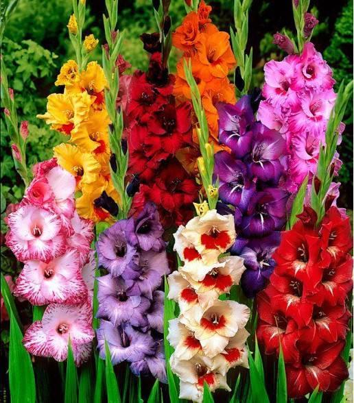 Особенности весенней посадки луковичных: гладиолусов, лилий, фрезий, ацидантер и т.д.