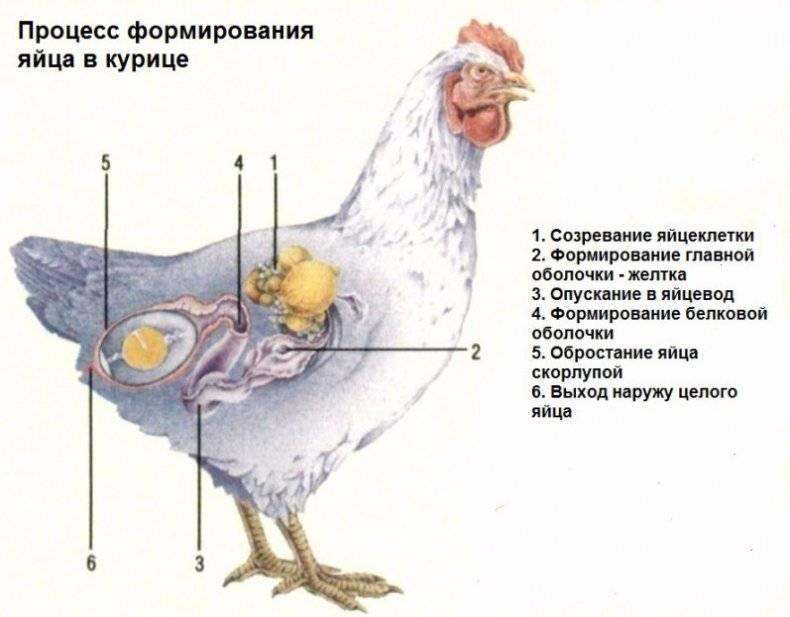 Курица несется без скорлупы