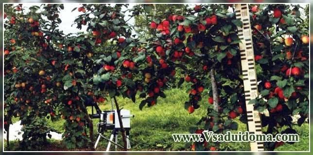 Различные карликовые сорта яблони для подмосковья