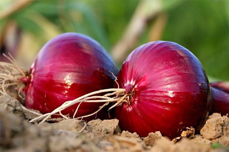 Лучшие сорта красного лука