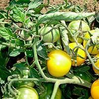 Рассада баклажанов: посадка, выращивание и уход в домашних условиях