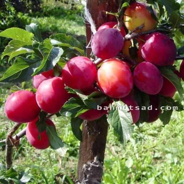 Слива персиковая: как вырастить теплолюбивую красавицу