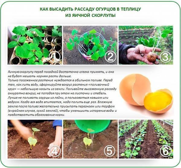Народный метод удобрения: яичная скорлупа