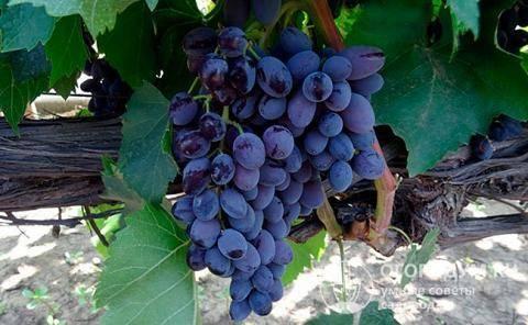 Описание сорта винограда юпитер — кишмиш из сша, особенности, достоинства