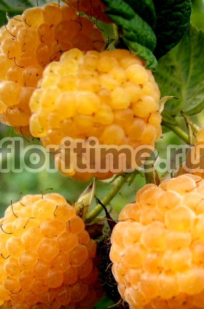 О ремонтантной малине Желтый гигант: описание сорта, особенности по уходу