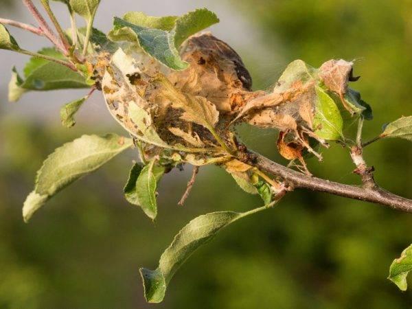Гусеницы на яблоне - как бороться  и чем обработать?
