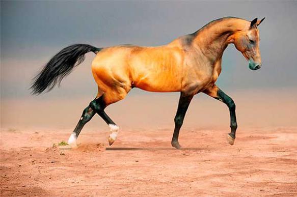 Ахалтекинская лошадь: использование и особенности разведения