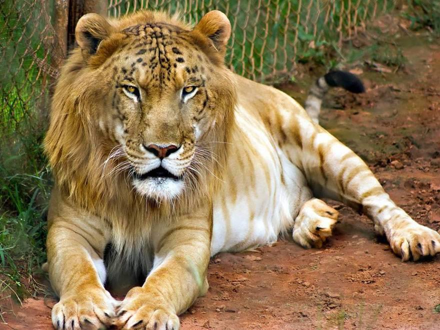 15 самых удивительных животных-гибридов