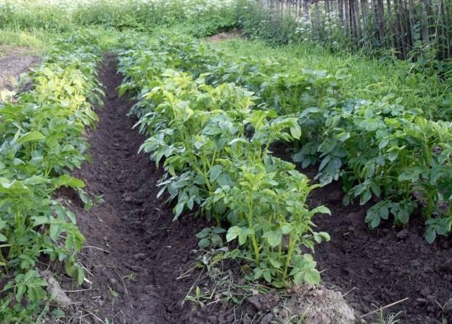 Сажать картофель в гребни