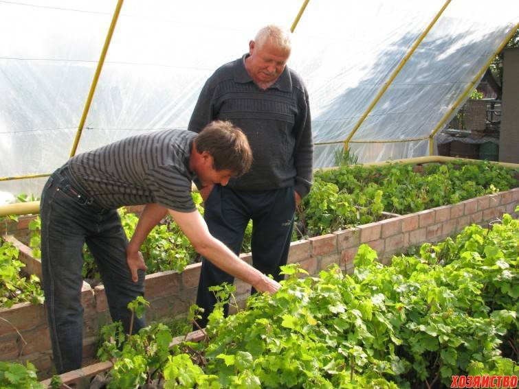 Как вырастить в домашних условиях виноград из косточки