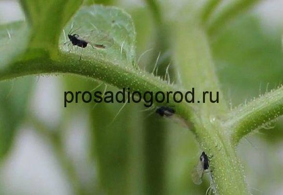 Как избавиться от совки на помидорах с помощью химических и народных средств, меры профилактики
