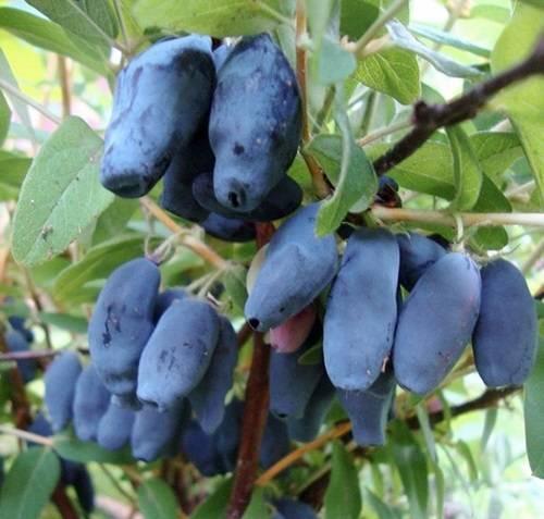 Жимолость голубая – описание, сорта, выращивание и уход