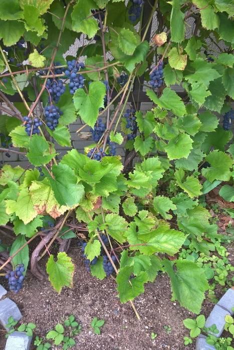 Виноград альфа: особенности сорта и нюансы выращивания «северной изабеллы»