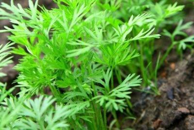Как подготовить семена моркови к посеву чтобы быстро взошли