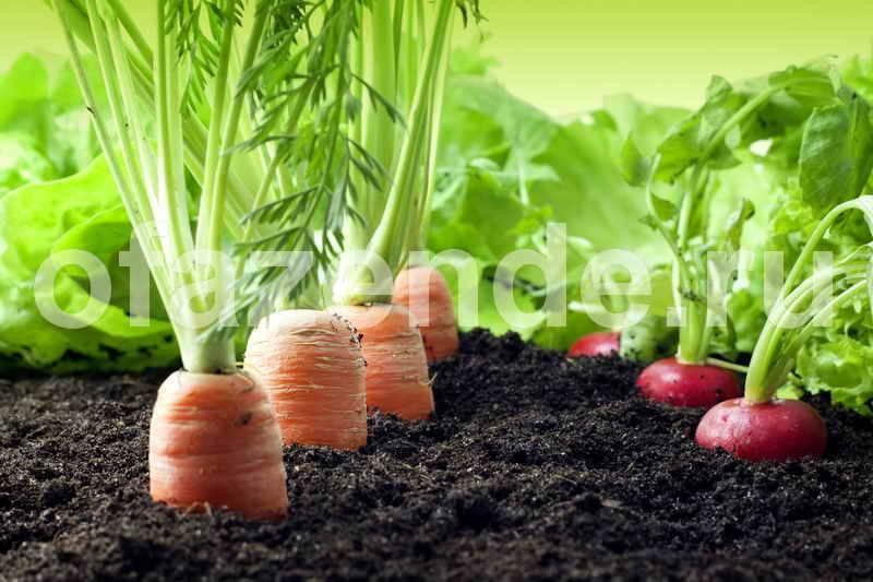 Чем подкормить морковь для хорошего урожая?