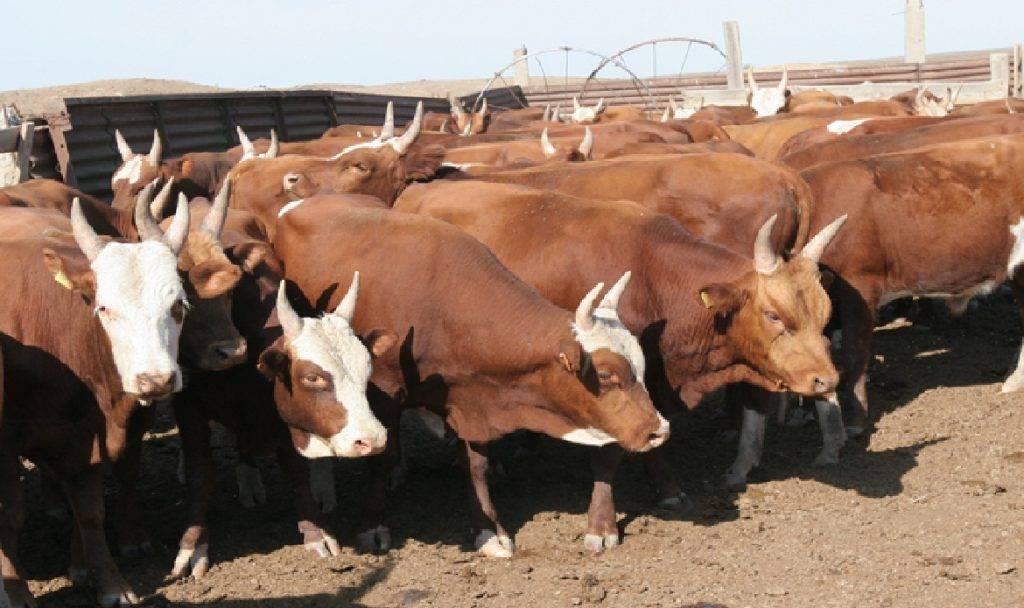 Калмыцкая порода коров: особенности и рекомендации по уходу