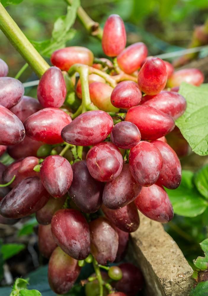 """Виноград """"красотка"""": описание сорта, фото и характеристики, советы по борьбе с вредителями"""