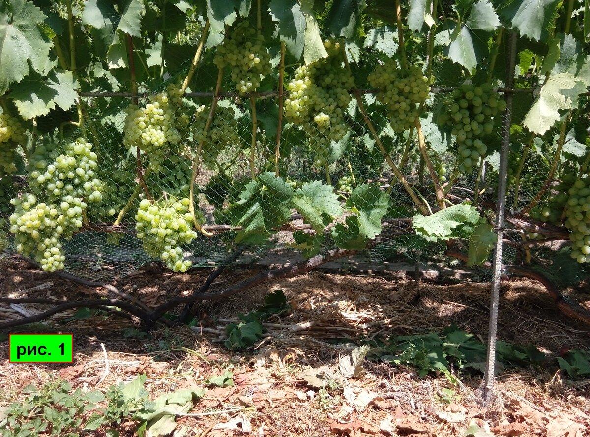 Как подкармливать виноград – схема внесения удобрений и подкормок