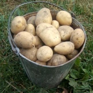 Столовый картофель «рокко»: описание сорта, фото, характеристика