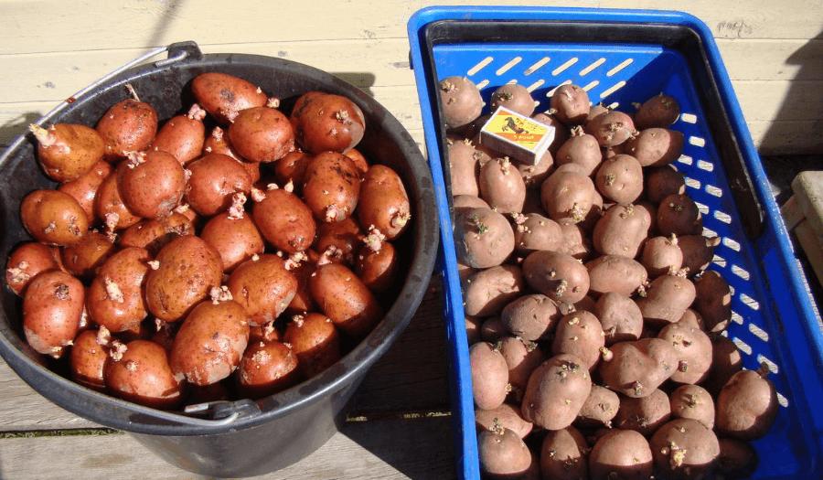 Особенности выращивания картофеля: агротехника